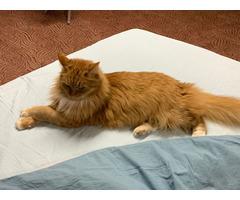 Белая дача станция Внуково пропала рыжая кошка без породы