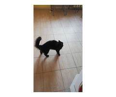 Пропала черная кошка в Басманном районе